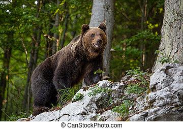 oso, roca, ursus, posición, dominante, forest., arctos, marrón