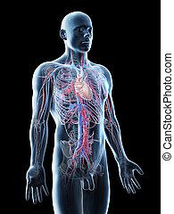 osoba, systém, cévní