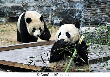 osos, beijing, china, panda