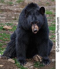 osos negros estadounidenses