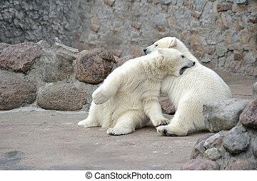 osos, polar, poco, dos, lucha