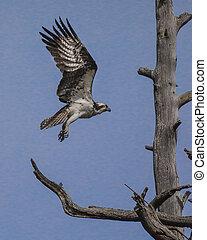 Osprey approaching snag