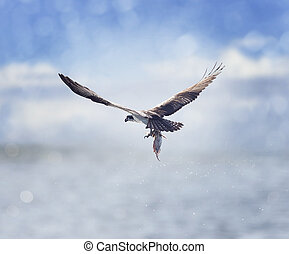 Osprey Carrying A Fish In It's Talons