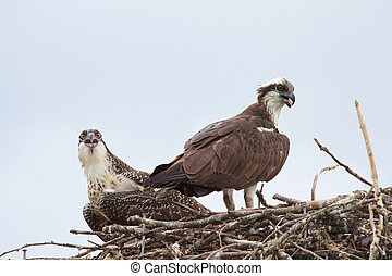 Osprey Couple 1