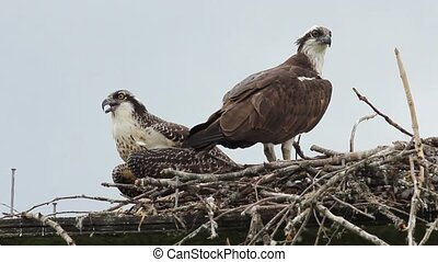 Osprey couple on their nest with one screaming