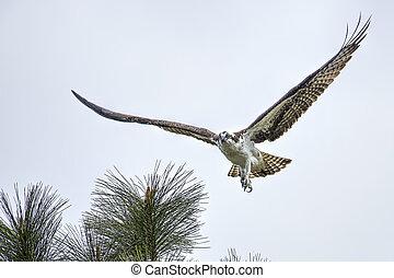 Osprey fliess off from tree.