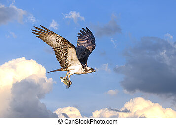 Osprey flying in clouds with fish - Osprey flying in the...