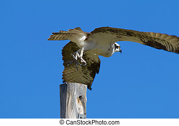 Osprey Flying Off Perch