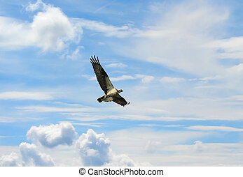 Osprey in clouds with fish - Osprey flying high in clouds ...