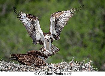 Osprey in Florida
