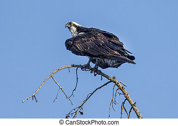 Osprey is perched on a branch. - An osprey is perched on a ...