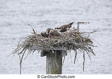 Osprey nest with young bird