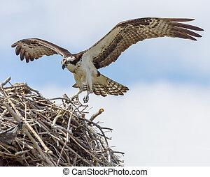 osprey, nid, vol, approchant