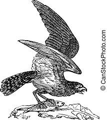 Osprey of America, Pandion carolinensis, fish eagle or sea hawk, vintage engraving