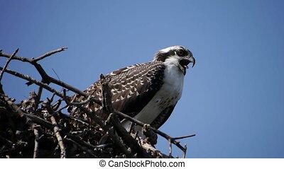 Close up of an osprey on nest