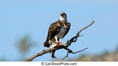osprey or sea hawk with caughted fish, Africa Safari wildlife