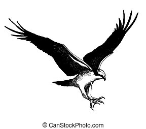 Osprey - Pandion haliaetus -