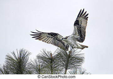 Osprey perched in a tree.