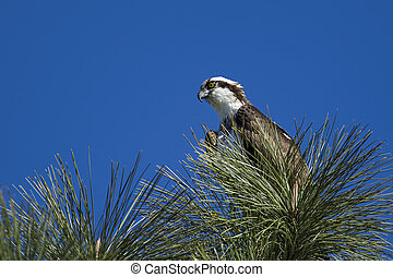 Osprey perched in the tree.