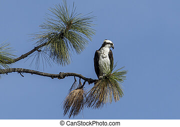 Osprey perched on the edge of a branch. - An osprey is ...