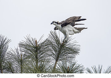 Osprey perched on top of a tree.