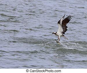 Osprey - An osprey, Pandion haliaetus, catching a fish over...