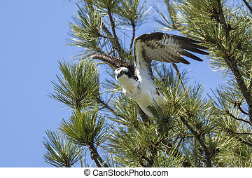 Osprey prepares to fly from tree.