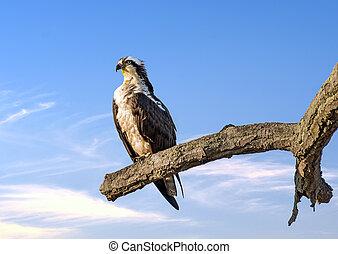 Osprey Reverence - Osprey perched on a tree near sunset over...