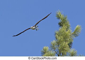 Osprey soars from tree top.