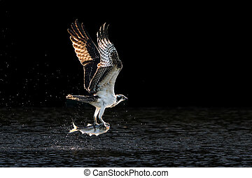 Osprey Takeoff V - Osprey in Flight Over Water After...