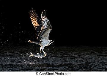 Osprey Takeoff V - Osprey in Flight Over Water After ...