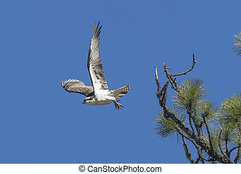 Osprey takes off from branch.