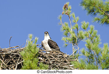 Osprey Watching the Photographer