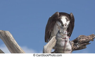 Osprey with Fish Pandion haliaetus also called fish eagle or sea hawk close-up