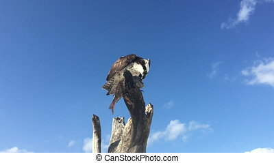 Osprey with Fish Pandion haliaetus also called fish eagle or sea hawk