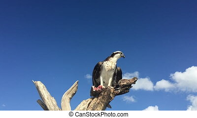 Osprey with Fish Pandion haliaetus also called fish eagle or sea hawk take off