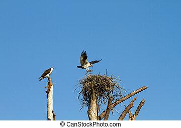 Ospreys Building Nest