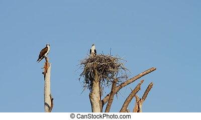 Ospreys on Nest - Mated pair of ospreys guard a nest in Gulf...