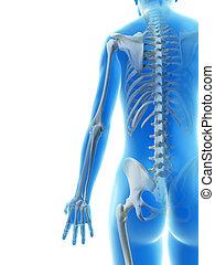 ossa, braccio