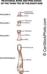 ossos, dedo pé