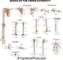 ossos, extremidade, superior