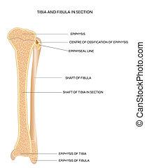 ossos, fibula., tibia, perna