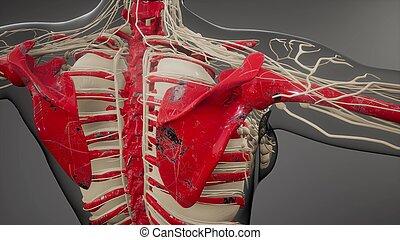 ossos, human, visível, transparente, corporal