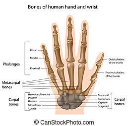 ossos, mão, eps8