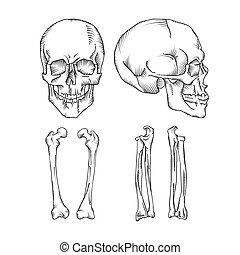 ossos, médico, human, ilustração, cranio