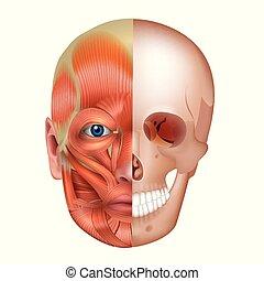 ossos, músculos, rosto
