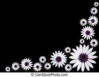 osteospermum, デイジー, 花, 黒, asti, 隔離された, グループ, バックグラウンド。, 中心, ...