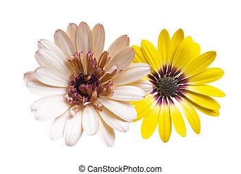 osteospermum, 隔離された, 花