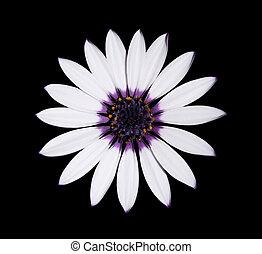 osteospermum, asti, wit madeliefje, met, paarse , centrum, op, black