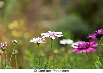 osteospermum, bloem madeliefje, groeiende